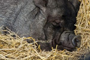 This lazy black pig is sleep day and night without any exercise.